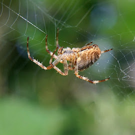 ORB Spiden  by Carol Langsford - Nature Up Close Webs
