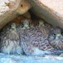 Eurasian Sparrowhawk