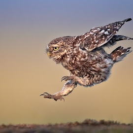 Arriving with style by Austin Thomas - Animals Birds ( little owl, landing, arriving, owl, jump )