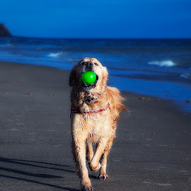 My Ball by CLINT HUDSON - Animals - Dogs Playing ( beach, dog, golden retriever )