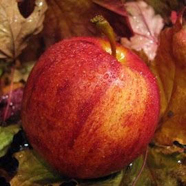 Apple by Janet Herman - Food & Drink Fruits & Vegetables ( red apple, fruit, red, gala apple, apple, food, fall )