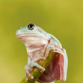 by Richard Stevens - Animals Amphibians ( macro, silouette, nature, wildlife, frogs )