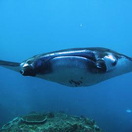 Manta Close-up by Phil Bear - Animals Sea Creatures ( bali, ray, reef, manta ray, indonesia, manta )