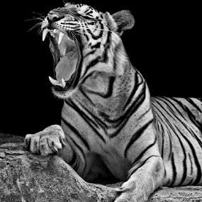 by Charliemagne Unggay - Black & White Animals