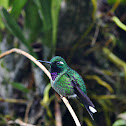 Purple-bibbed Whitetip (male)