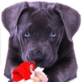 Blue Eyeees by Jenefer Zeitsch - Animals - Dogs Puppies