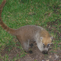 Coati (mexican tejon)