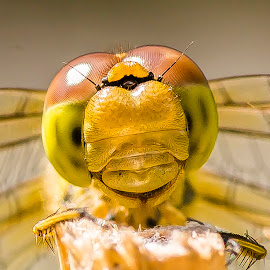 Dragonfly face by Simon Hawketts - Animals Insects & Spiders ( tamron 90mm f/2.8, sony nex 6, macro, dragonfly, portrait )