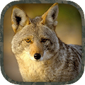 Free Coyote Hunting Calls APK for Windows 8