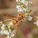 California Paper Wasp