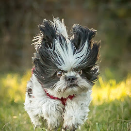 Crazy Dog by Sharon Snider - Animals - Dogs Running ( #pup, #dog #shihtzu #running #dogrunning )