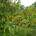 Golden Rain-tree