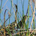Anhinga and Green Heron