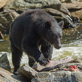 Alaskan Black Bear headed for the Salmon leftovers by Brent Morris - Animals Other Mammals
