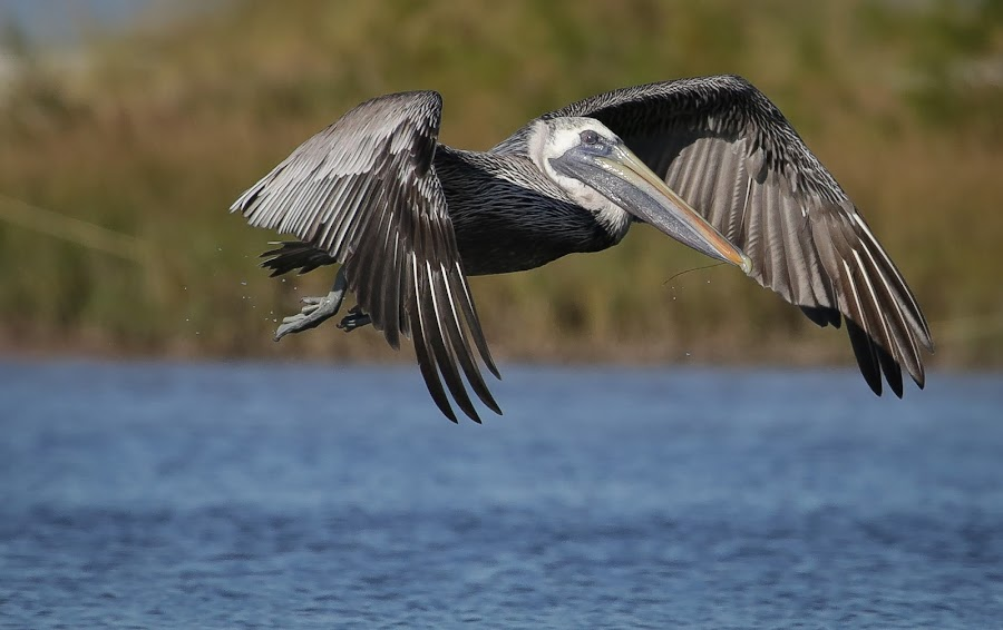 Wing Brigade by Jared Lantzman - Animals Birds ( water, bird, nature, wings, nest, fishing, hungry, pelican, birds, , fly, flight )