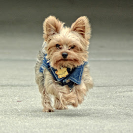 On a mission by Terri Cox - Animals - Dogs Running ( fluffy, clothes, yorkshire, wearing, denim, terrier, cute, running )