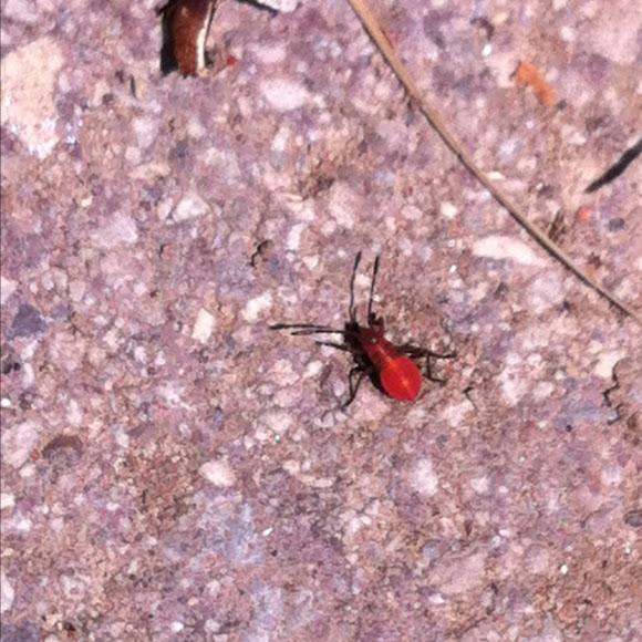 Microscopic Bright Red Bug