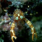 Olivar's squat lobster