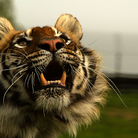 Look up by Elise Northfield - Animals Lions, Tigers & Big Cats ( look, cat, tiger, raise, male, teeth,  )