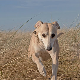 by Cheryl Quine - Animals - Dogs Running