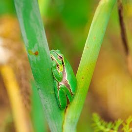 Nap Time by Bruno Soares - Animals Amphibians ( nature, nap, frog, green, close up )