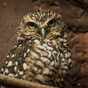 Burrowing Owl by Mary Phelps - Animals Birds ( burrowing owl, memphis, zoo, tennessee, memphis zoo,  )