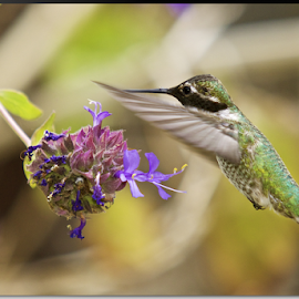Hummingbird by Stephan Guenot - Animals Birds