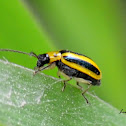 Striped Cucumber Beetle