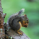 Douglas Fir Squirrel