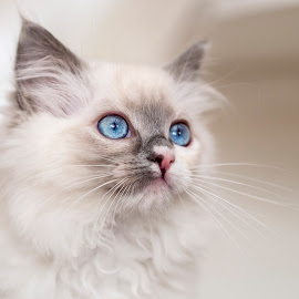 Little blue eyes by Chris Froome - Animals - Cats Kittens ( ragdoll, cat, kitten, blue eyes, feline )