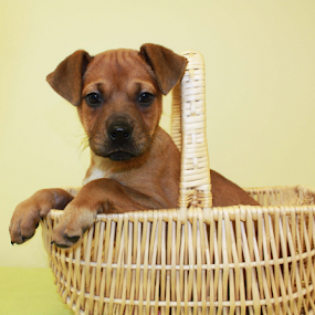 Marilyn by Sharon Scholtes - Animals - Dogs Portraits ( canine, rescue, basket, puppy, brown, dog )