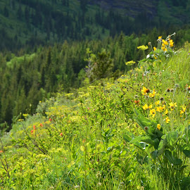 Mountain Meadow, Glacier National Park by Kathleen Koehlmoos - Landscapes Prairies, Meadows & Fields ( hiking glacier, mountain meadow, alpine hiking, alpine meadow, alpine meadows, mountain meadows, glacier national park )