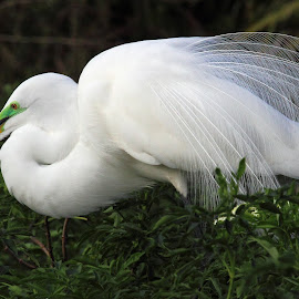 Great Egret in Breeding Plumage by Sandra Blair - Animals Birds ( bird, wading bird, wetlands, plumage, wader )