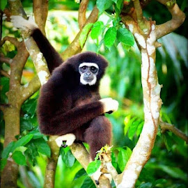 Gibbon by Chin KK - Animals Other