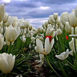 The White Tulips by Todd Klingler - Flowers Flower Gardens ( field, green, todd klingler, tulip, white, cloudy, tulips, garden, flower )