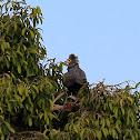 African harrier-hawk, Gymnogene