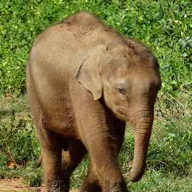 Baby Elephant by Claire O'Donnell - Animals Other Mammals ( baby elephant, elephant, safari, young elephant, sri lanka, elephant calf )