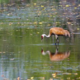 Sandhill Crane by Andy Schwanke - Animals Birds ( calm, wild, reflection, sandhill crane, still water, birds )