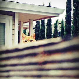 from any direction and over a fence by Serenity Deliz - Animals - Cats Playing ( orange feral cat kitty playing peek-a-boo )