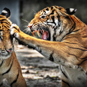 LEFT HAND PUNCH! by Andy Teoh - Animals Lions, Tigers & Big Cats ( big cats, zoo, tiger, andyteoh photography, animal,  )