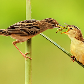 Yummy Grasshopper.....  by Roy Husada - Animals Birds