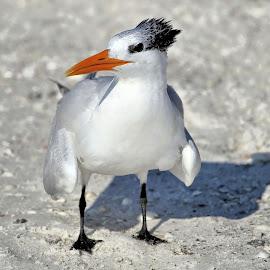 Coquina Beach 30 by Terry Saxby - Animals Birds ( usa., shore, bird, terry, florida, coquina beach, saxby, nancy )
