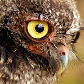 The Eye by Larry Strong - Animals Birds ( bird, owl, raptor, eyes )