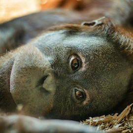 Captivity by David Bugyi - Animals Other Mammals ( feel, face, lying, sadness, sad, nikkor, emotion, eyes, captivity, great, zoo, ape, hot, orangutan, summer, animal )
