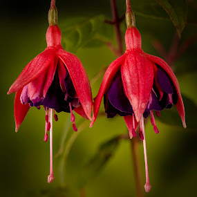 Fuchsia by Hans-Börje Jansson - Flowers Flower Gardens ( plant, blomma, focus stacking, fuchsia, växt, close-up, flower )