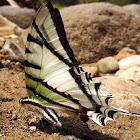 Kite Swallowtail