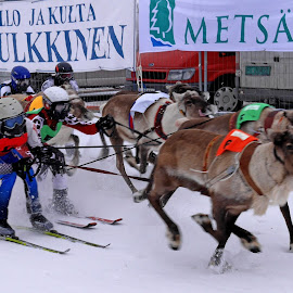 Rendeerrace, Trotting Course Rovaniemi by Bernhard Bußmann - Sports & Fitness Snow Sports ( finnland, rendeerace, trotting course, rovaniemi )