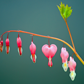One leaf Seven Flowers by Keith Sutherland - Flowers Flowers in the Wild ( heart, nature, pink, flowers )