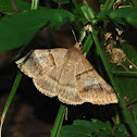 Noctuid moth