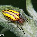 Alpaida spider
